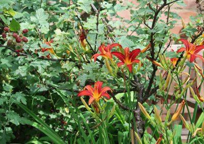 Brombeeren und Lilien im Hof
